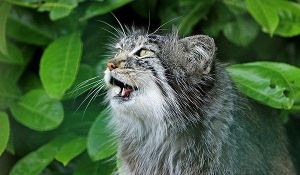 por que los gatos maullan en la noche