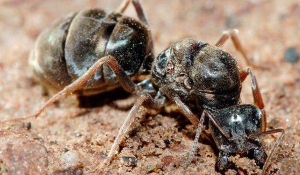 como nacen las hormigas reinas