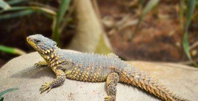 Como proteger a las lagartijas