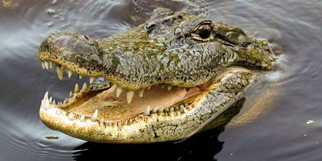 como se desplaza el cocodrilo
