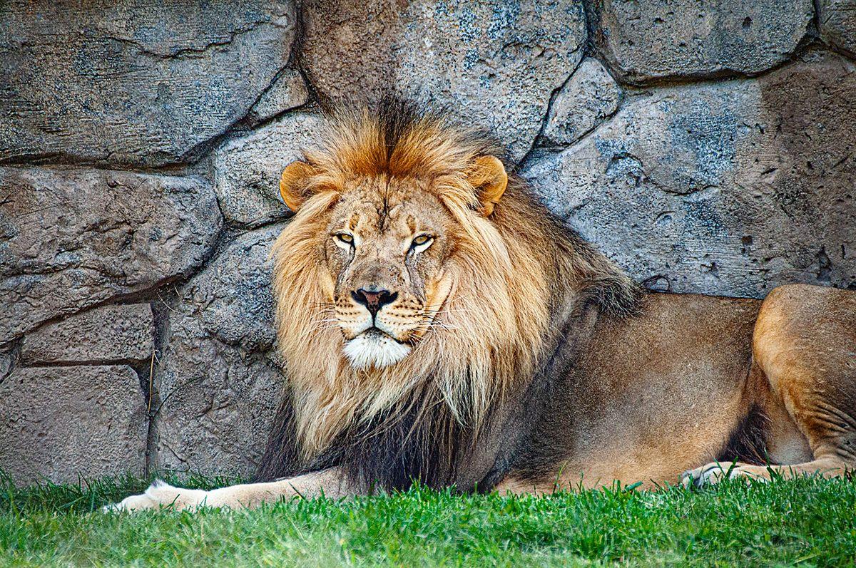 leon descansando